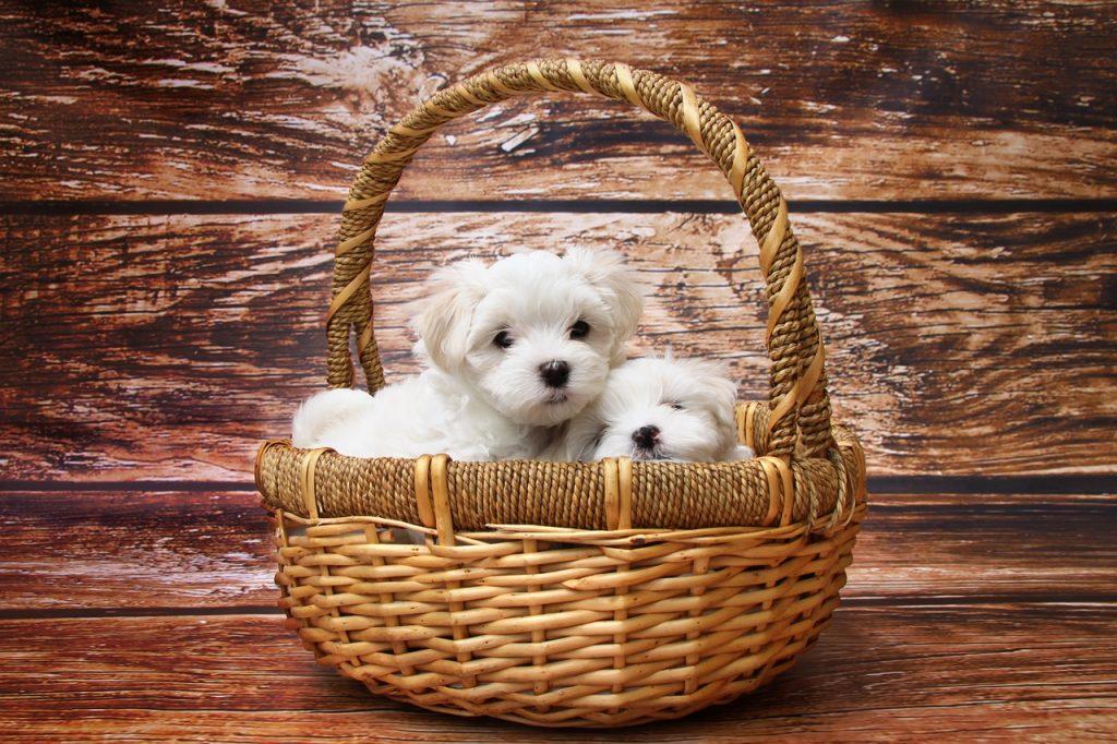 maltežan-pasme-psov