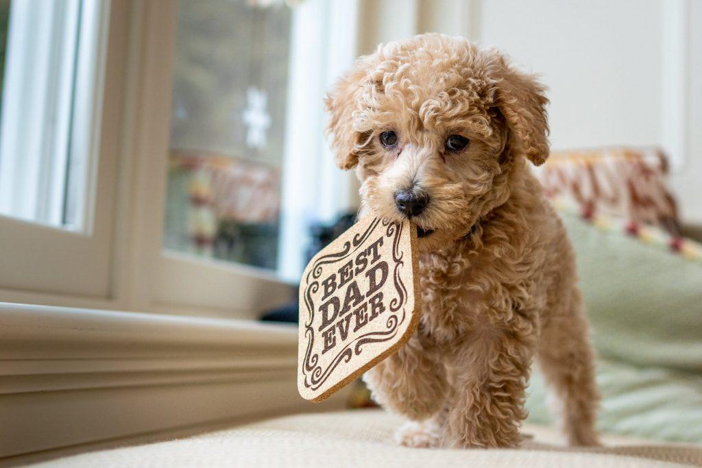 najbolj-učljive-pasme-psov-pudelj